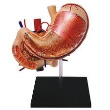 Anatomy Human Abdomen Amazon Com Famemaster 4d Vision Human Stomach Anatomy Model Toys