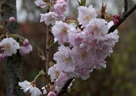 your guide to 10 top ornamental cherry trees vancouver sun