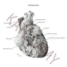 anatomy fovea centralis