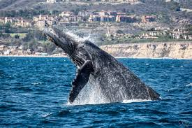 experience the thrill of los angeles whale watching discover los