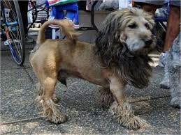 lion dogs lion cut looks great on this dog doggies lions dog