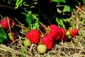 florina strawberry plant nursery van den elzen plants