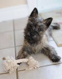 brindle cairn haircut 103 best cairn terrier images on pinterest doggies cairn