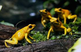 why don u0027t poison frogs die from their own neurotoxin big think
