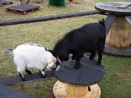 Goat Home Decor Diy Toys For Goats To Keep Them Busy Home Design Garden