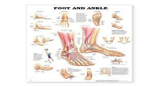Foot Surface Anatomy Download A Brief Atlas Of The Skeleton Surface Anatomy And