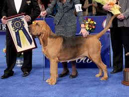 westminster kennel club show top 5 dogs to look out for abc news