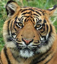 interior tiger picture ebay