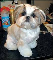 list of shih haircut shih tzu teddy bear cut dog grooming shop my life pinterest