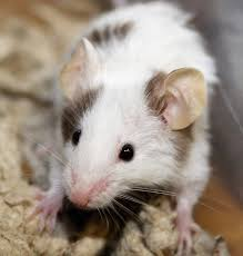 Are Mice Blind Wild Mouse Mice Care And Information