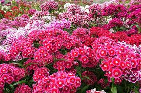 sweet william flowers sweet william flower plants for kids sweet williams rhs gardening