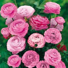 essential guide when buying ranunculus bulbs