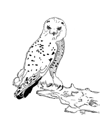 snowy owl coloring page beautiful ideas about owl coloring pages