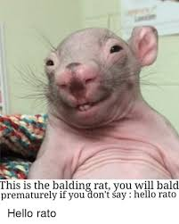 Rat Meme - this is the balding rat you will bald prematurely if you don t say