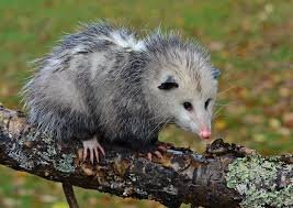 virginia opossum frequent questions welcome wildlife