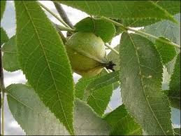 Fruit Tree Identification - plant id fruits u0026 nuts hickory nut florida master gardener