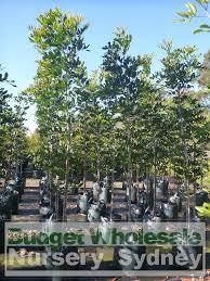 sweet viburnum 200mm pot viburnum cupaniopsis anacardioides 75lt bag budget wholesale nursery sydney