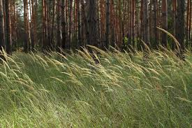 grass in a pine forest many slender pine trees in th
