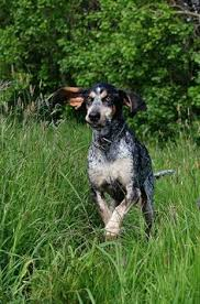 bluetick coonhound westminster adopt shelly on pets puppys and bluetick coonhound