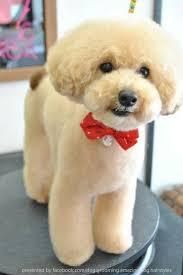 different toy poodle cuts be1e7f4596088b5c29e9e3ffc71db159 jpg 535 800 píxeles perros