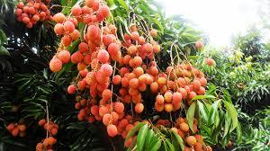 lychee fruit the lychee fruit noel on reunion island album on imgur