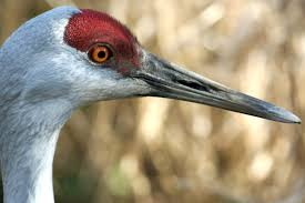 encountering the sandhill crane heart of the west coast