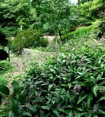 1003 gardens pollia japonica a great commelinaceous plant