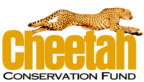 ccf statement on reintroduction of cheetahs in india cheetah