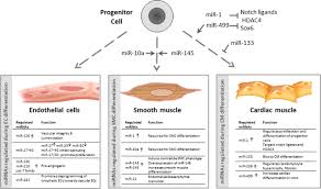 micrornas and stem cells circulation research