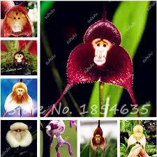 Monkey Orchids Online Shop 200pcs Cute Monkey Face Orchid Seeds Monkey Orchid