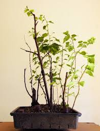 bonsai saule pleureur une forêt de bouleaux histoires de bonsaï