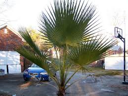 mexican fan palm growth rate palm trees in sc columbia charleston house landscaping