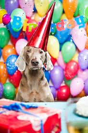 116 best weimaraner images on weimaraner puppies dogs