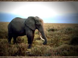 elephant pictures and facts