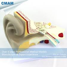 Anatomy Ear Compare Prices On Ears Anatomy Online Shopping Buy Low Price Ears