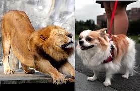 electrom駭ager cuisine 為什麼有大型貓科動物 卻沒有體型如同獅子 老虎般的大型犬科動物呢