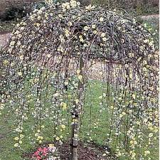 best 25 small weeping trees ideas on landscaping