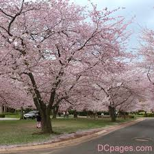 best 25 yoshino cherry tree ideas on cherry blossom