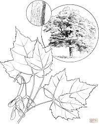 red maple tree coloring page free printable coloring pages