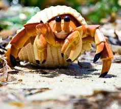 Crab Decorations For Home Marine Hermit Crab Promotion Shop For Promotional Marine Hermit