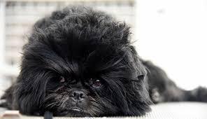affenpinscher at westminster affenpinscher dog breed information pictures characteristics