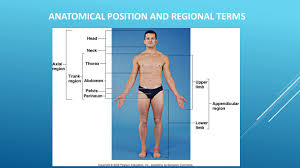 Picture Of Anatomical Position Directional Terms Chapter 1 Ppt Video Online Download