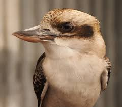 aussie backyard wildlife laughing kookaburra u2013 evlinev