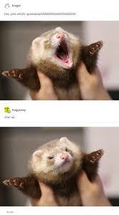Ferret Meme - rude animals know your meme