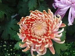 mums flower peach china mum brooke u0027s wedding pinterest flowers