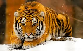 siberian snow tiger wallpapers 78 wallpapers u2013 hd wallpapers