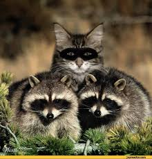 Evil Raccoon Meme - haha evil raccoon meme evil best of the funny meme