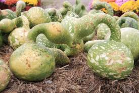 goose gourds autumn goose gourds at a farm stand stock photo picture and royalty