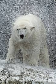 Two Polar Bears In A Bathtub 263 Best Images About All Polar Bears On Pinterest Baby Polar
