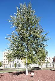 picture of a silver poplar white poplar tree populus alba